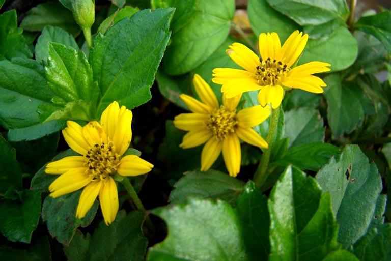Sài đất được sử dụng phổ biến trong các mẹo dân gian để điều trị các bệnh lý về da thường gặp