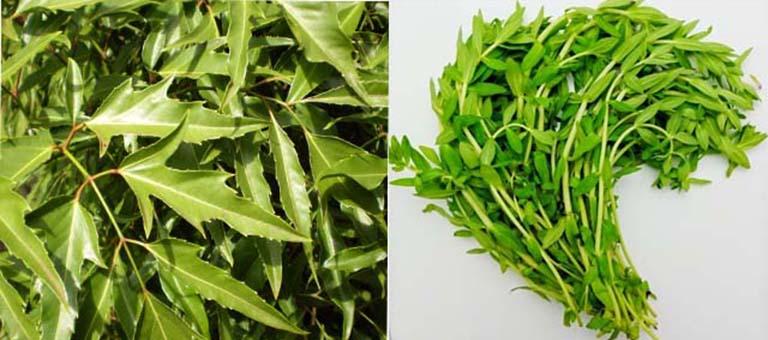 Điều trị mề đay bằng cách dùng kết hợp lá đinh lăng với lá ngổ