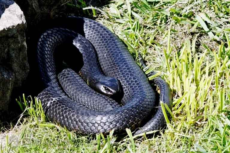 Chữa mề đay mẩn ngứa bằng rắn hổ hành