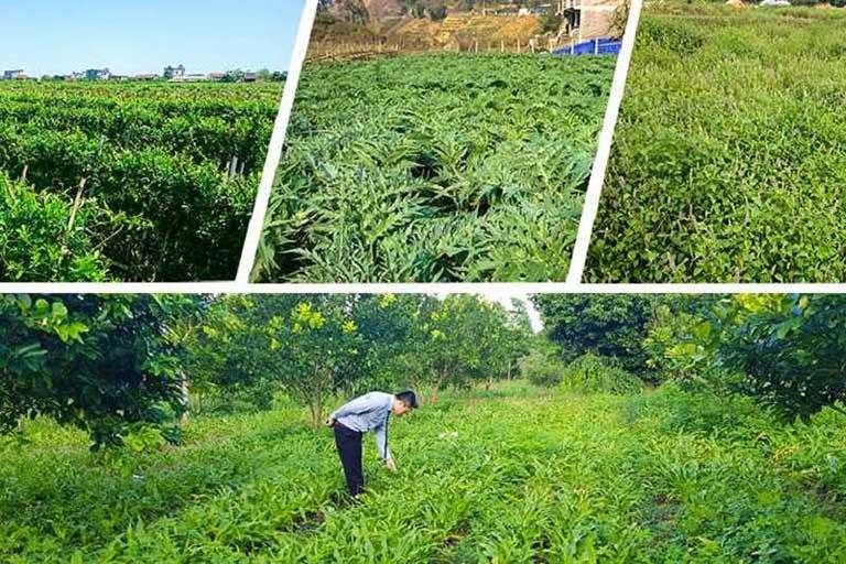 Vườn thảo dược đạt chuẩn GACP - WHO do Quân dân 102 phát triển