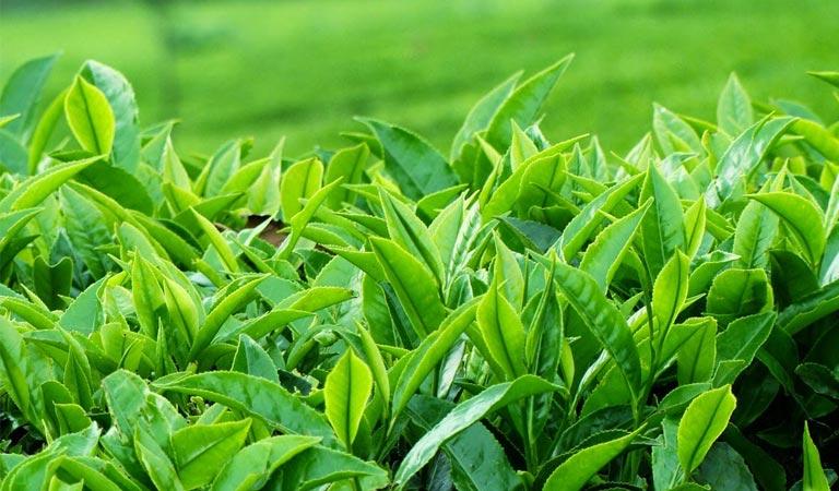Trị viêm da dị ứng bằng lá trà xanh