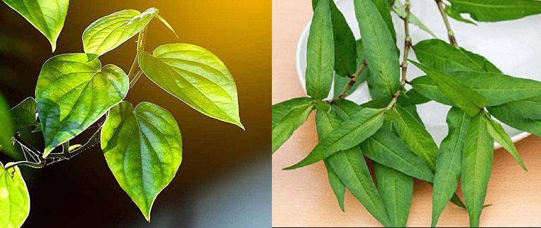 Kết hợp lá trầu không và rau răm chữa hắc lào giúp nâng cao hiệu quả mang lại