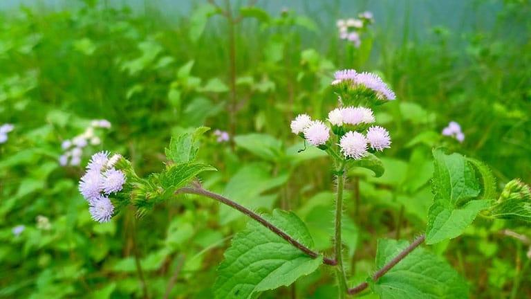 Điều trị bệnh viêm xoang trán tại nhà bằng cách thoa nước cốt hoa ngũ sắc vào niêm mạc mũi