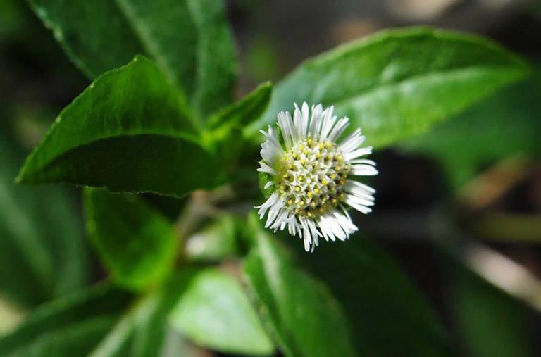 Người bệnh có thể dùng kết hợp cỏ mực với một số loại dược liệu tự nhiên khác để điều trị viêm xoangg giúp nâng cao hiệu quả mang lại