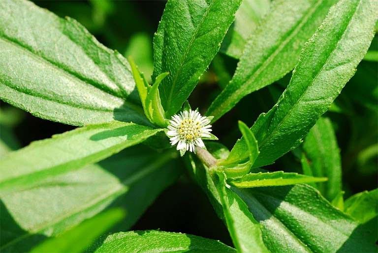Cải thiện triệu chứng của bệnh viêm xoang ở mức độ nhẹ bằng cây cỏ mực