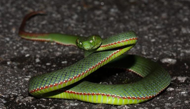 Dùng rắn lục đuôi đỏ trị viêm xoang là mẹo được lưu truyền rộng rãi trong dân gian