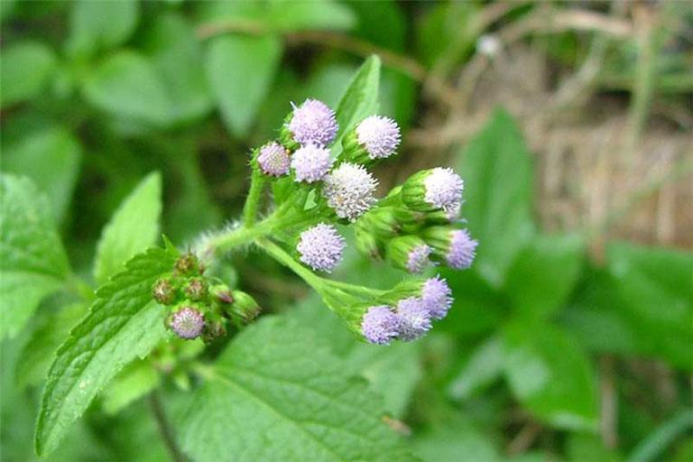 Dùng hoa ngũ sắc nấu nước xông hơi mỗi ngày giúp đẩy lùi triệu chứng của bệnh