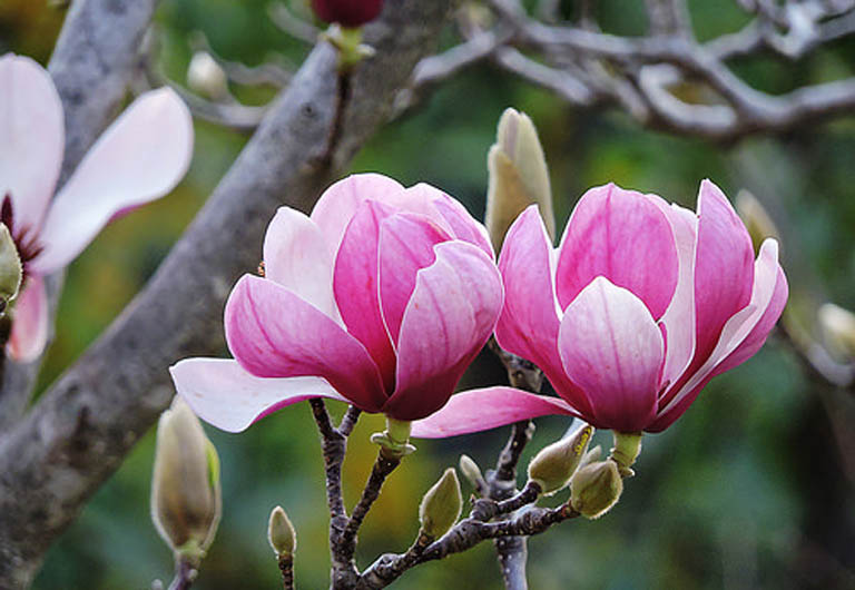 Bài thuốc chữa viêm xoang từ nụ hoa tầm xuân mang lại hiệu quả tốt được nhiều người áp dụng