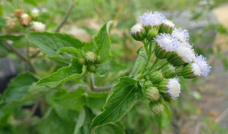 Chữa bệnh viêm mũi dị ứng quanh năm tại nhà bằng hoa ngũ sắc tươi