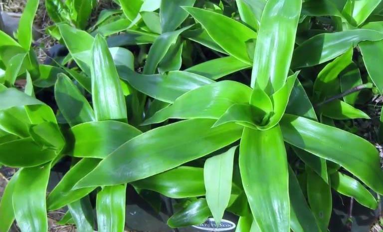 cách chữa viêm họng tại nhà bằng cây lược vàng