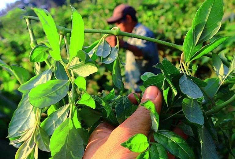 Chè dây là cây mọc hoang nhiều ở các tỉnh miền Bắc nước ta