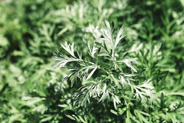 Trong cây ngải cứu có chứa nhiều thành phần hoạt chất có tác dụng kháng viêm, giảm đau xương khớp hiệu quả