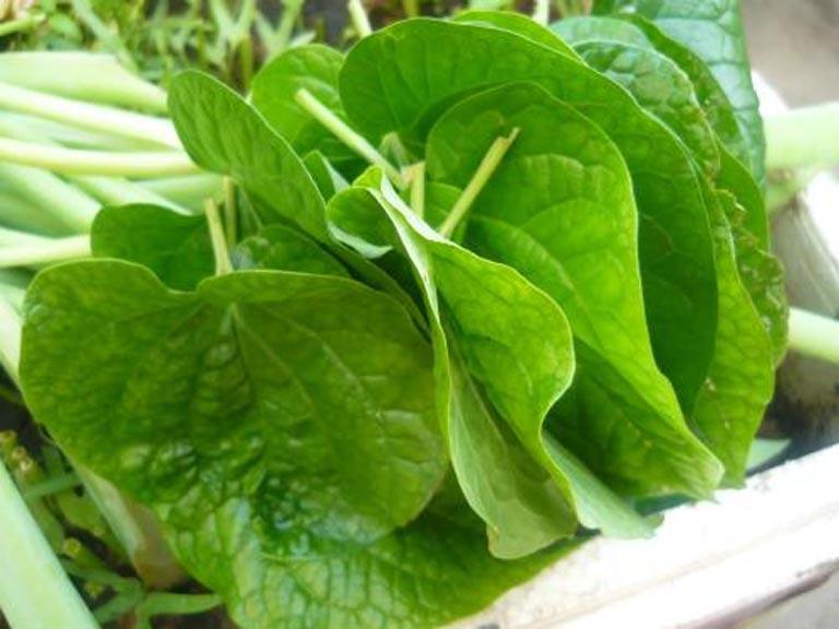Tận dụng lá lốt có sẵn bên trong vườn nhà để điều trị bệnh tràn dịch khớp gối