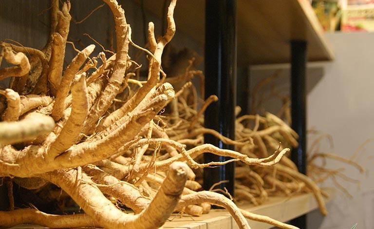 Rễ đinh lăng chứa rất nhiều dược tính tốt cho sức khỏe nói chung và xương khớp nói riêng