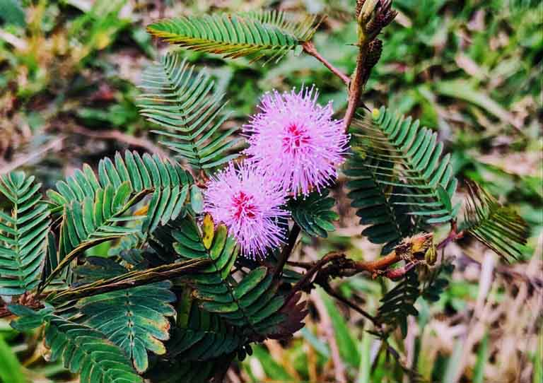 Thành phần hoạt chất tìm thấy trong cây trinh nữ có khả năng cải thiện triệu chứng của bệnh khá tốt